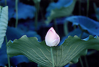 Close up of lotus flower bud with green leaves in the lotus pond