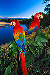 Scarlet Macaws, Peru<br />