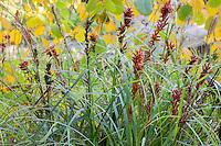 Carex baccans, Crimson-Seeded Sedge fall color at UC Berkeley Botanical Garden