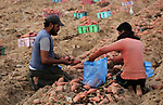 Palestinian farmers harvest sweet potato at a farm in Khan Yunis, in the southern Gaza Strip on November 12, 2017. Photo by Mohammed Asad
