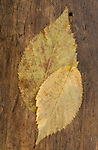 Autumn Elm Leaves
