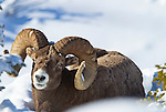 A mature big horn sheep seen in Jasper National Park, Alberta Canada, on Feb 1, 2011.  Photo by Gus Curtis
