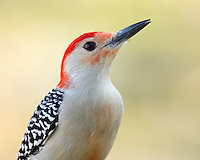 Red-bellied Woodpeckers are pale, medium-sized woodpeckers common in forests of the East. Their strikingly barred backs and gleaming red caps make them an unforgettable sight.