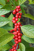 Ilex verticillata Wildfire -  Winterberry in red berries