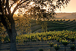 Vineyards at sunset, Zenaida Cellers, Paso Robles, San Luis Obispo County, California
