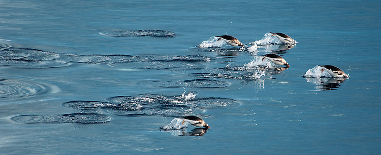 Gentoo Penguin (Pygoscelis papua), jumping whilst swimming, Gourdin Island, Antarctica