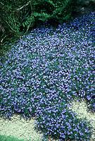 Lithodora diffusa aka Lithospermum diffusum blue flowers entire plant GR78