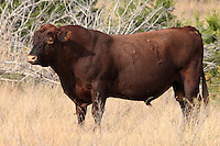 Red Angus is a red coloured breed of beef cattle selected from the population of Aberdeen Angus cattle
