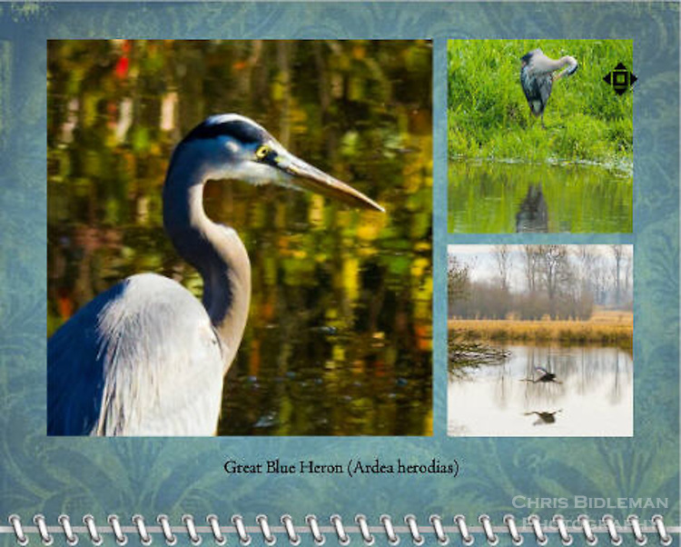 2015 Calendar - Birds of a Feather with photography by Chris Bidleman.<br /> A close up portrait of a Great Blue Heron (Ardea herodias) standing in a pond with the Fall leaves reflecting in the pond gives an abstract painting feel to the background of the photo.