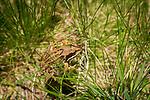 Grenouille rousse - common frog, Porteille de la Grave, Chemin du Ruisseau, La Bouillouses, Cerdagne, France