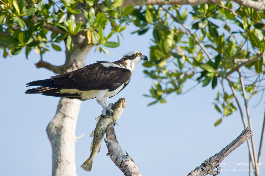 Captiva Island, Florida; an Osprey (Pandion haliaetus) bird stands on a tree branch with a fresh caught fish in it's talons, also known as Seahawk, Fish Hawk or Fish Eagle © Matthew Meier Photography, matthewmeierphoto.com All Rights Reserved