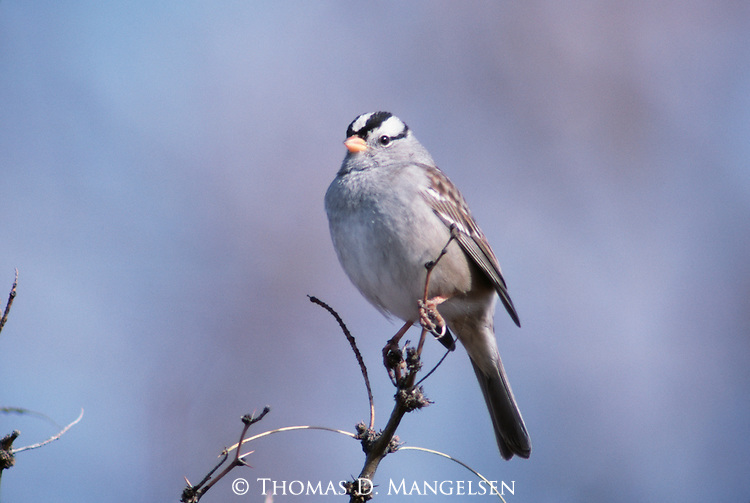 White-crowned Sparrow perched at the top of shrub.