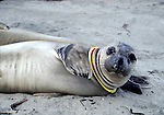 Elephant seal with ring on neck