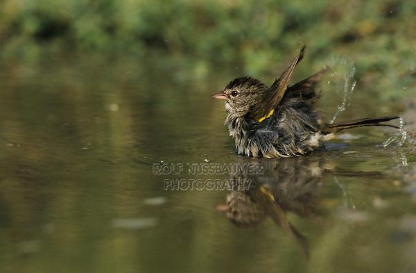 Olive Sparrow, Arremonops rufivirgatus, adult bathing, Starr County, Rio Grande Valley, Texas, USA