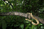 Ringed Tree Boa, Corallus annulatus, Hacienda Baru, Costa Rica, tropical jungle, resting on branch, wide angle.Central America....