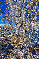 Deep snow covers trees after a major spring blizzard, Littleton, Colorado USA.