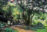 Large banyan tree and trail through the botanical gardens at Waimea Valley Audubon center, opened in June 2003, on the grounds of the former Waimea falls park, on Oahu's north shore
