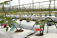 TANSANIA, Anbau von fair trade Schnittblumen Rosen in Gewaechshaus fuer Export nach Europa bei Firma Kiliflora nahe Arusha, Zufuhr von Wasser und Naehrstoffen - TANZANIA Arusha, rose cut flower cultivation in green house at fair trade company Kiliflora for export to Europe, application of water and fertilizer by drop irrigation