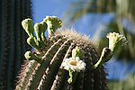 blooming Saguaro in Rancho Mirage