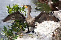 A cormorant dries its wings at Everglades National Park. Since they do not have waxy feathers, this enables an incredible underwater mobility which is used to chase down and catch fish, but in return results in waterlogged plumage that needs to air dry.
