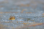 European Common Frog (Rana temporaria) in pond with eggs, Alps, Italy