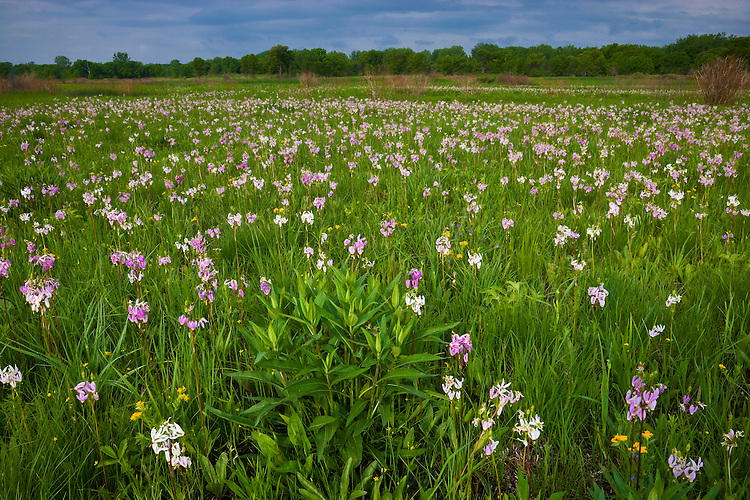 Field of Shooting Stars (Dodecatheon meadia) on the Chiwaukee Prairie (The Nature Conservancy; WI, IL