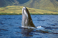 humpback whale, Megaptera novaeangliae, calf, lunging, breaching, playing, Maui, Hawaii, USA, Pacific Ocean