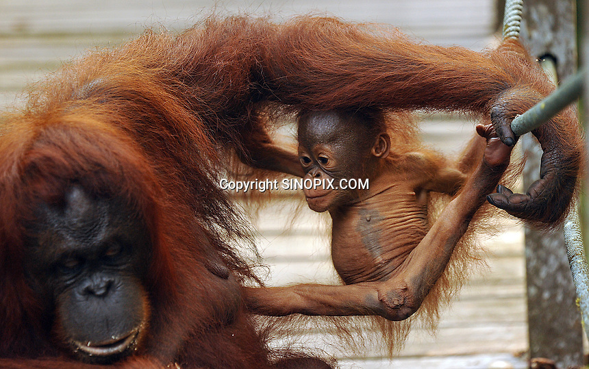 Delima never lets her baby move more than feet from her body at the Semenggoh Reserve, Sarawak, Malaysia, August 2009.  They  they are part of Sarawaks's Orangutang Rehabilitation Programme.<br />