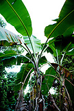 INDONESIA, Mentawai Islands, Kandui Surf Resort, low angle view of banana trees
