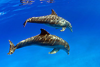 These Atlantic Bottlenose Dolphin, Tursiops truncatus,  Stenella plagiodon,  Bahamas Bank.