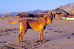 Red ( J.'s Dog ) On Beach