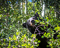 A black bear happily munching hawthorn berries of a thorny bush in Grand Teton National Park