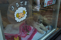 89.000yen price tagged toy poodle puppy is in the glass case of the Pet shop in Shibuya, Tokyo