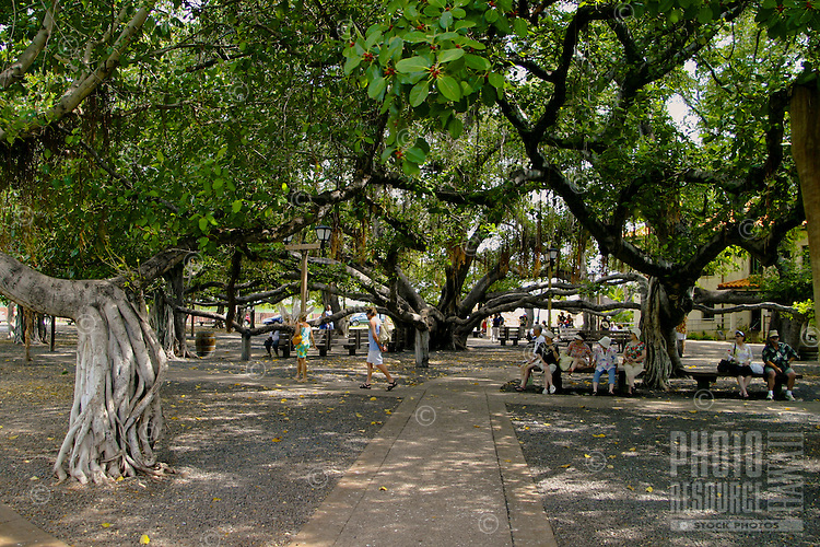 The worlds largest Banyan tree,located in Banyan tree Park along Front street in historic Lahaina, is over fifty feet tall and provides shade over nearly two thirds of an acre. It arrived from India in 1873. The tree is a gathering place for many to