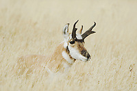 Pronghorn, Antilocapra americana, male laying in grass, Yellowstone NP,Wyoming, USA