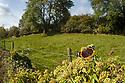 Red Admiral {Vanessa atalanta} feeding on Ivy {Hedera helix} Peak District National Park, Derbyshire, UK. October.