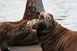 CA sea lion males, Astoria