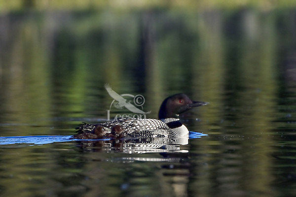 Common Loons--adult with young chicks (Gavia immer).  Northern North America, Summer.  Early morning.  Sometimes also called Great Northern Loon or Diver.