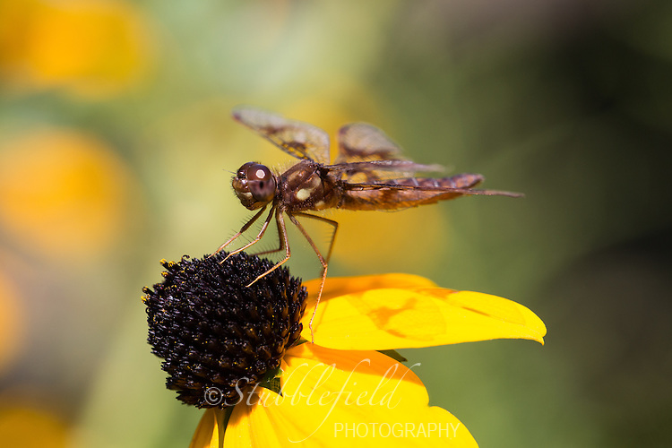 Eastern Amberwing (Perithemis tenera), female on a yellow flower in Central Park, New York City, New York.
