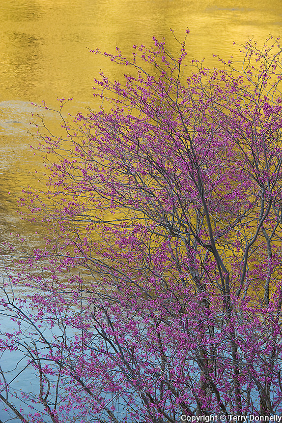 Sierra National Forest, CA<br /> Flowering redbud (Cercis canadensis) against reflections of the Merced River near Bryceberg, Merced River Canyon
