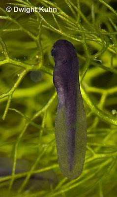 FR11-736z American Toad embryo developing, Bufo americanus or Anaxyrus americanus.