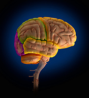 Computer generated biomedical illustration of the lobes of the human brain