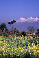 Kathmandu Valley, landscape of wildflower meadow wit white-capped mountains rising in the distance. Kathmandu Valley, Nepal.