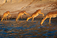 Female Impala (Aepyceros melampus) cautiously drink together at the edge of the Chobe River in soft evening light. This group had just navigated past a Leopard on the ridge and dozens of noisy Elephants to arrive at this quiet spot. There were Nile Crocodiles and Hippos in the river, so the Impala were on high alert.