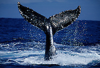 TAIL OF A HUMPBACK WHALE, Megaptera novaeangliae, HAWAII.