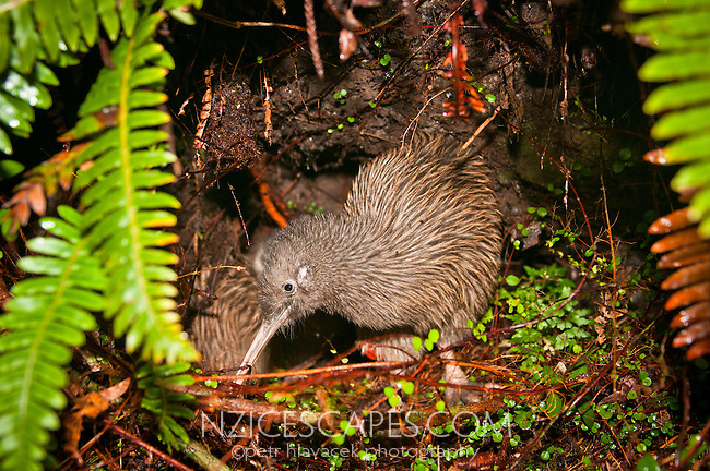 Kiwi Rowi in its natural habitat in Okarito kiwi sanctuary - Westland National Park, West Coast, New Zealand