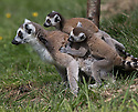 16/05/16<br /> <br /> &quot;Can we go home now?&quot;<br /> <br /> Three baby ring-tail lemurs began climbing lessons for the first time today. The four-week-old babies, born days apart from one another, were reluctant to leave their mothers&rsquo; backs to start with but after encouragement from their doting parents they were soon scaling rocks and trees in their enclosure. One of the youngsters even swung from a branch one-handed, at Peak Wildlife Park in the Staffordshire Peak District. The lesson was brief and the adorable babies soon returned to their mums for snacks and cuddles in the sunshine.<br /> All Rights Reserved F Stop Press Ltd +44 (0)1335 418365