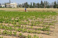 EGYPT, Bilbeis, Sekem organic farm, desert farming, bean field, drip irrigation  / AEGYPTEN, Bilbeis, Sekem Biofarm, Landwirtschaft in der Wueste, Bohnenfeld mit Troepfchenbewaesserung