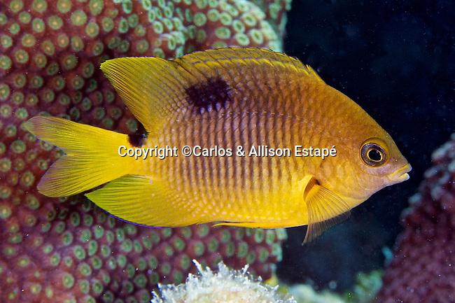 Stegastes planifrons, Threespot damselfish, Key West