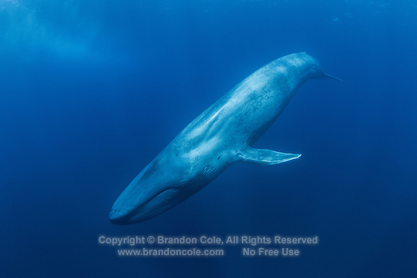 TC0127-D. Blue Whale (Balaenoptera musculus) underwater. Feeds on krill and other small crustaceans such as copepods, swallows huge clouds of the tiny invertebrates and then strains out water by using the baleen plates hanging from top jaw. Found throughout the world in polar and temperate seas, usually solitary or in pairs though sometimes in large aggregations at feeding grounds. Pacific Ocean.<br /> Photo Copyright &copy; Brandon Cole. All rights reserved worldwide.  www.brandoncole.com